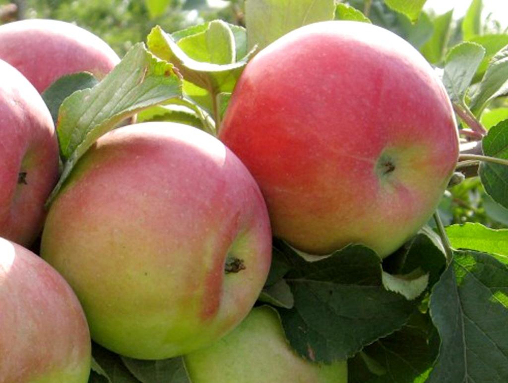 Яблоня Десертное Исаева 1