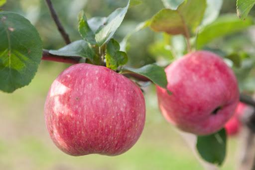 Яблоня Десертное Исаева 5