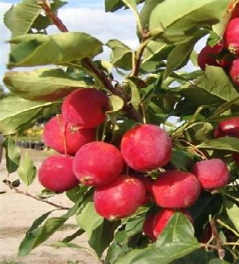 Яблоня Диво 1