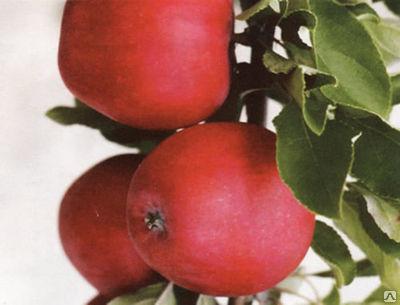 Яблоня Диво 4