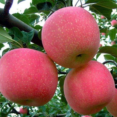 Яблоня Фуджи 2