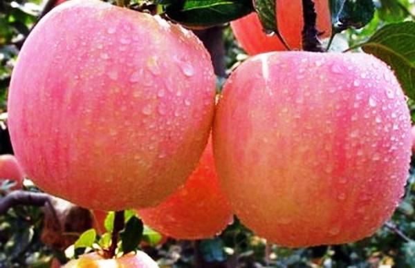 Яблоня Фуджи 3