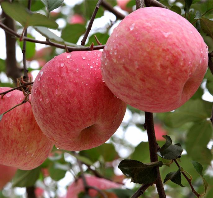 Яблоня Фуджи 1
