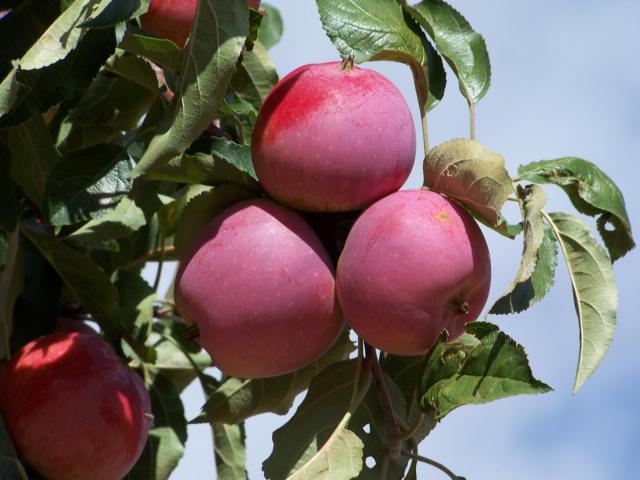 Яблоня Имант изображение 5