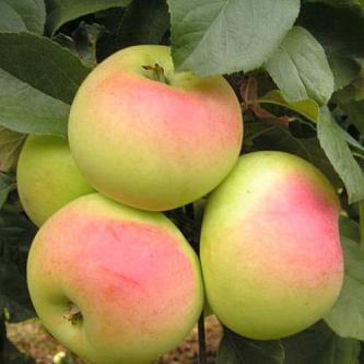 Яблоня Имрус 2