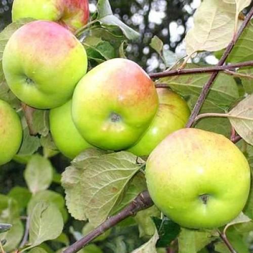 Яблоня Имрус 1
