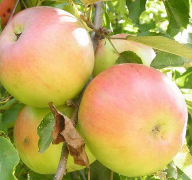 Яблоня Имрус 4