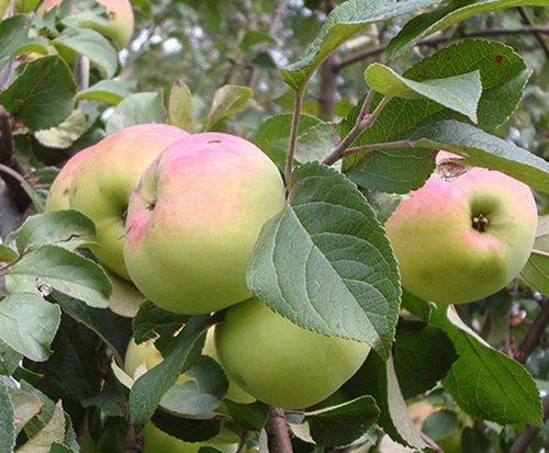 Яблоня Имрус 5