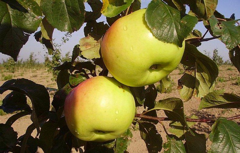 Яблоня Имрус 6