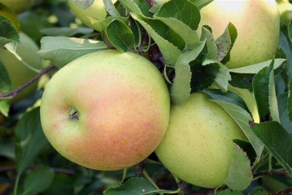 Яблоня Снежный Кальвиль изображение 2