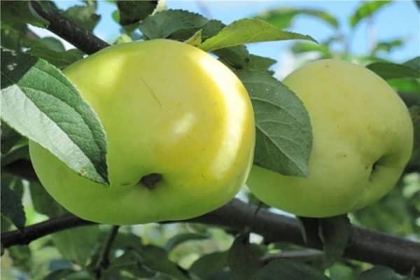 Яблоня Снежный Кальвиль изображение 5