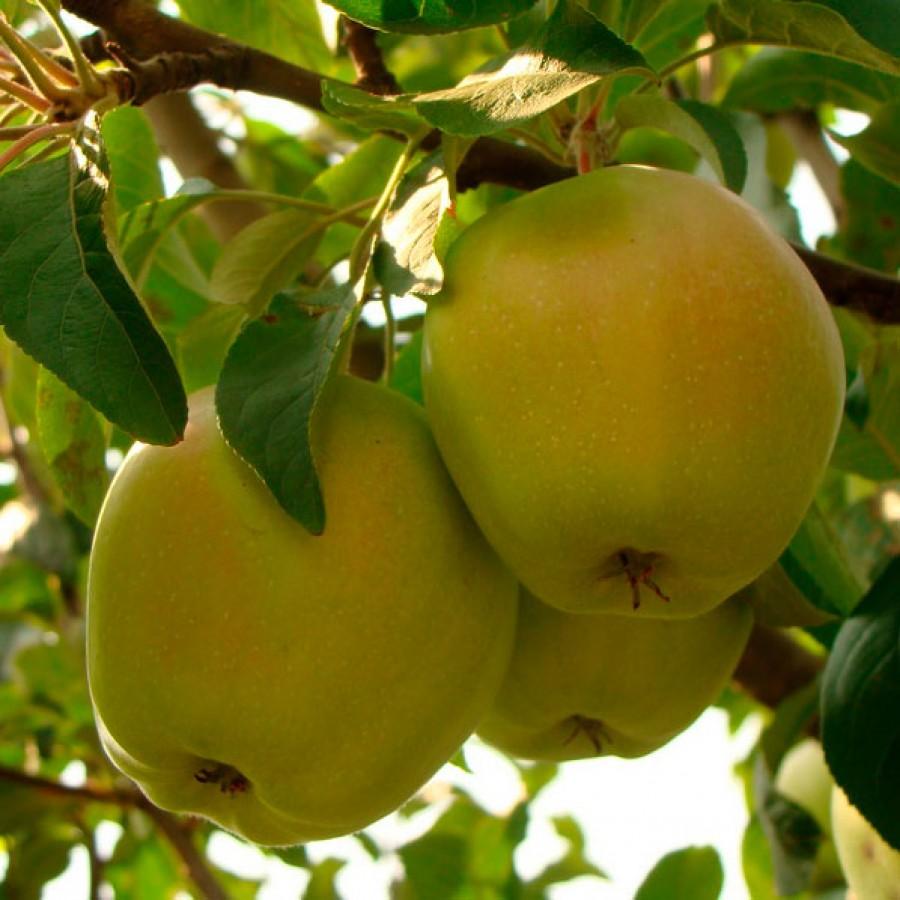 Яблоня Снежный Кальвиль изображение 6