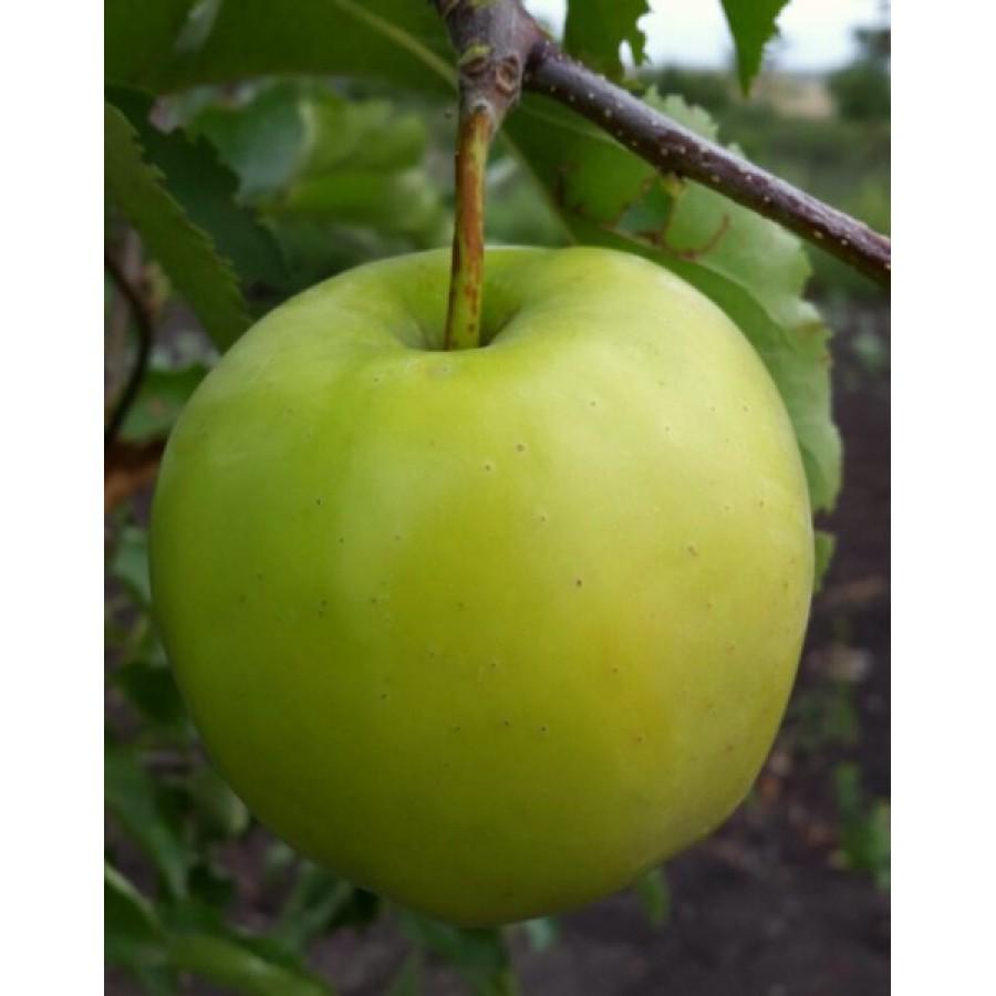 Яблоня Снежный Кальвиль изображение 1