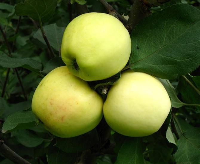 Яблоня Снежный Кальвиль изображение 4