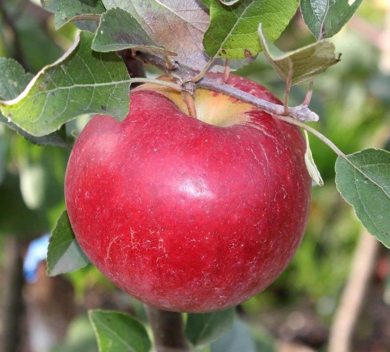 Яблоня Карамельня 2