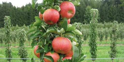 Яблоня Карамельня 3