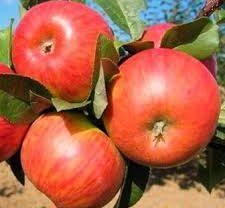 Яблоня Карамельня