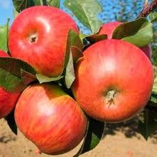 Яблоня Карамельня 1