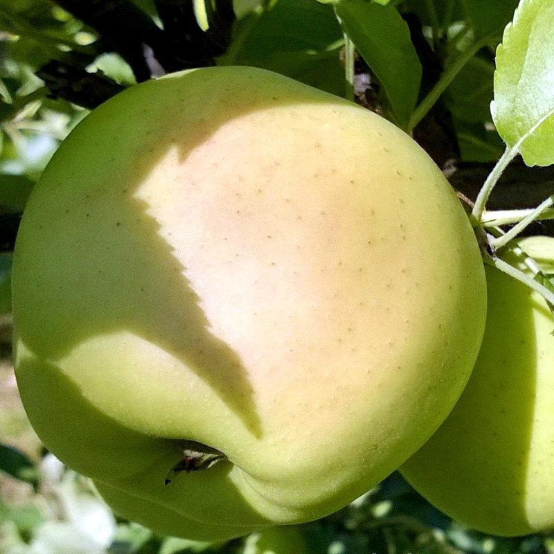 Яблоня Коштеля 2