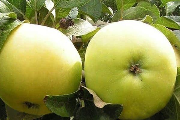 Яблоня Коштеля 1