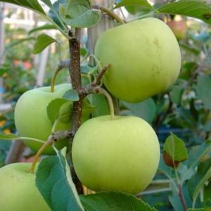 Яблоня Коштеля 4