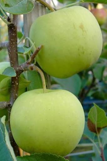 Яблоня Коштеля 5