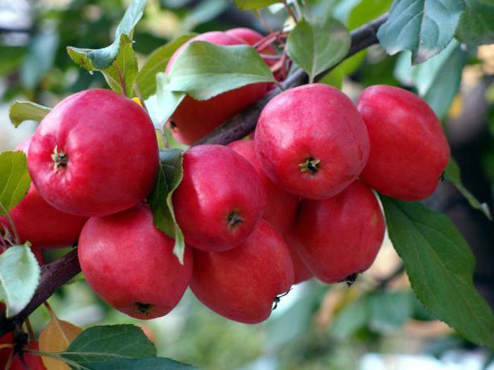 Яблоня китайка Керр изображение 1