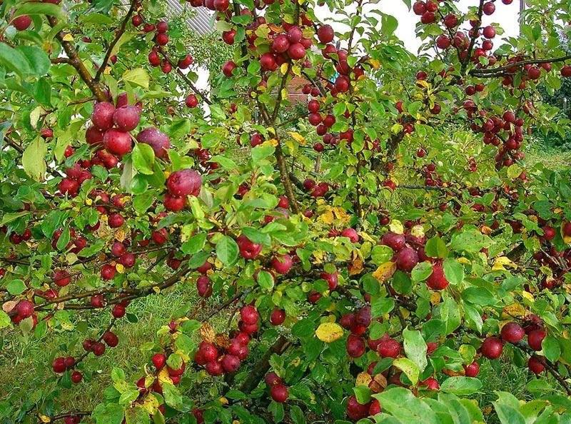 Яблоня китайка Керр изображение 3