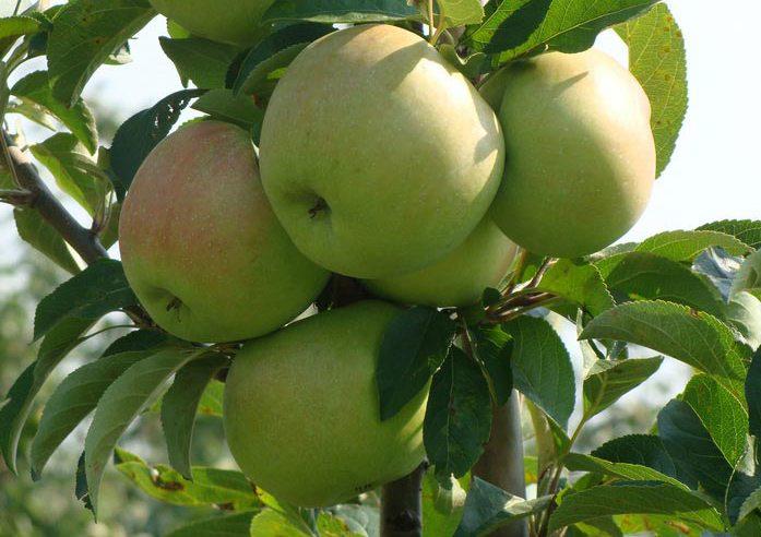 Яблоня колоновидная Болеро 2