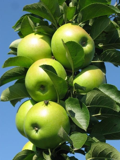 Яблоня колоновидная Болеро 3