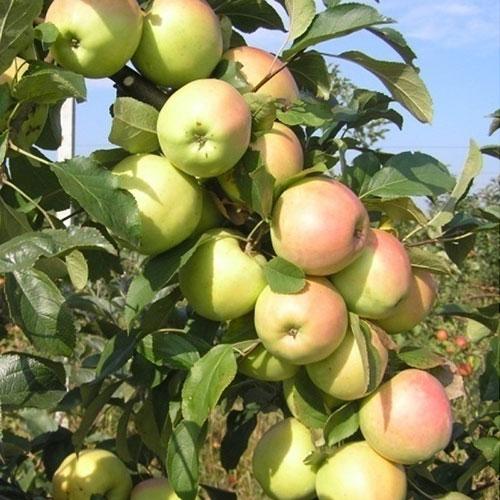 Яблоня колоновидная Болеро 5