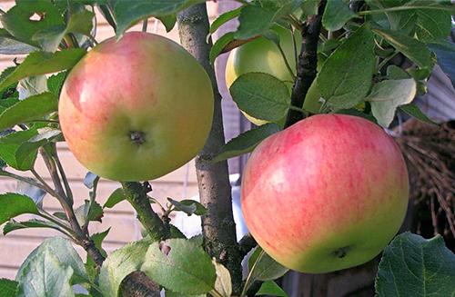 Яблоня колоновидная Васюган 2
