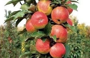 Яблоня колоновидная Васюган 3