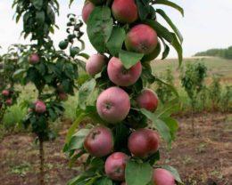 Яблоня колоновидная Васюган