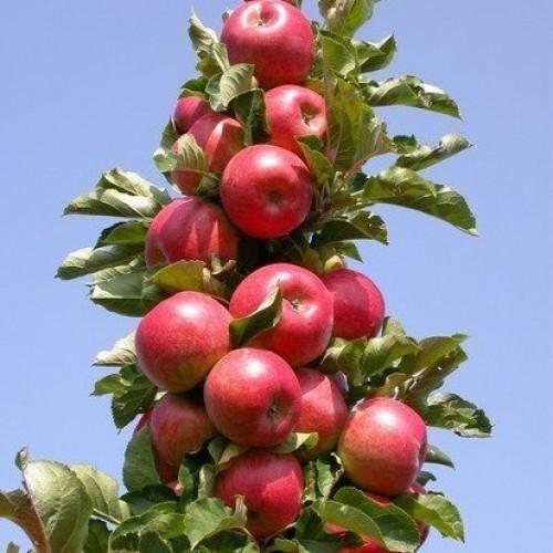 Яблоня колоновидная Джин 2
