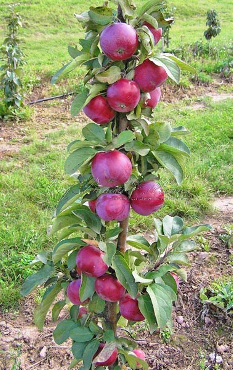 Яблоня колоновидная Джин 3