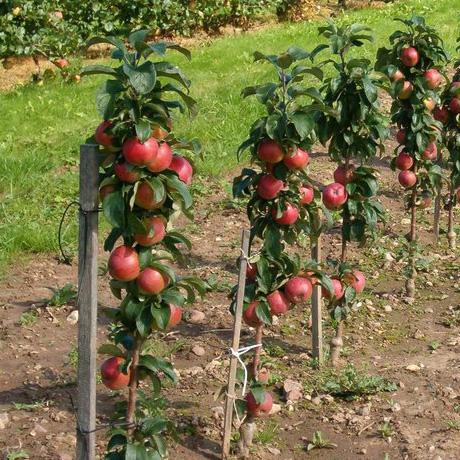 Яблоня колоновидная Джин 4