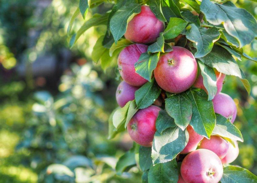Яблоня колоновидная Джин 1