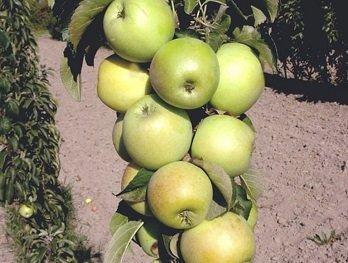 Яблоня колоновидная Икша изображение 5