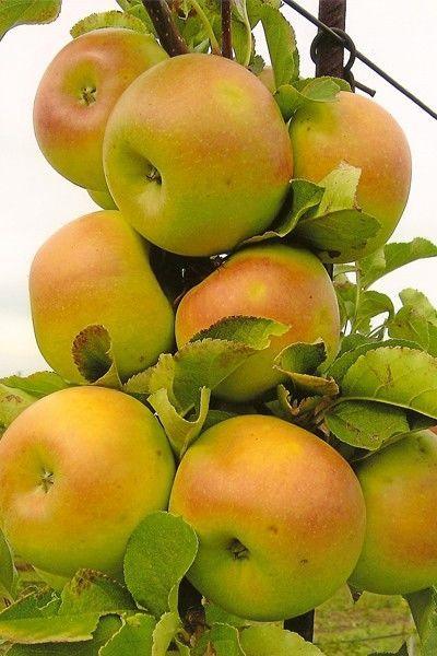 Яблоня колоновидная Искорка 2