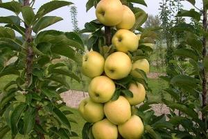 Яблоня колоновидная Искорка 1