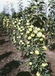 Яблоня колоновидная Искорка 4
