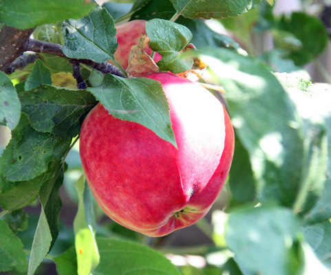 Яблоня Квинти 1