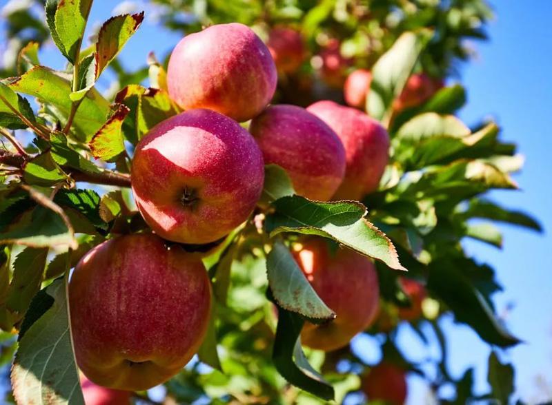 Яблоня Квинти 3