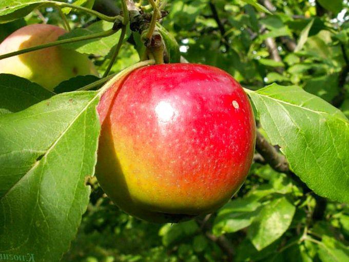 Яблоня Квинти 4