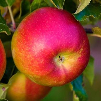 Яблоня Лигол изображение 4