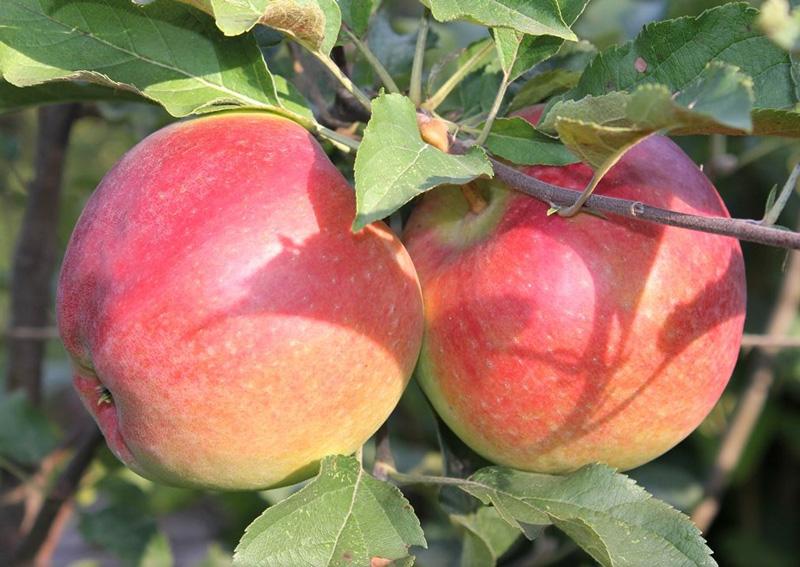 Яблоня Лигол изображение 2