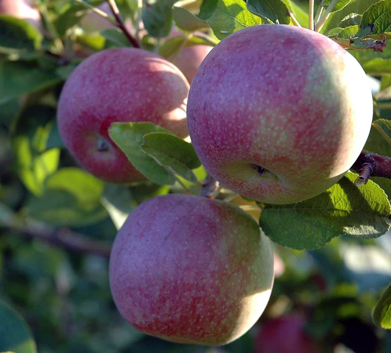 Яблоня Макинтош (Мекинтош) 2