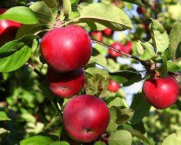 Яблоня Макинтош (Мекинтош)