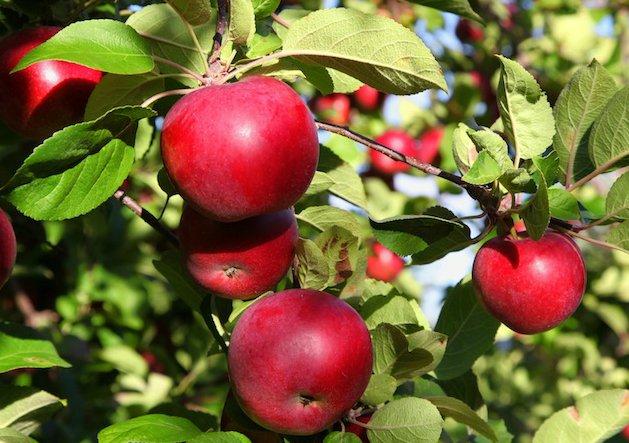 Яблоня Макинтош (Мекинтош) 1